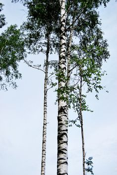 latvian birch trees