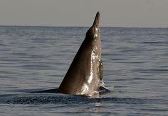 Sowerby's beaked whale - Mesoplodon bidens - breach (photograph by Nova Atlantis Foundation)