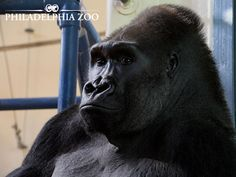 Gorillas may live as long as 50 years in zoos, with a more typical lifespan being around 34 years of age. The Philadelphia Zoo's Massa held the longevity record of 54 years at the time of his death in 1984. This moment was captured by Camera Club Member Patti Matthias.