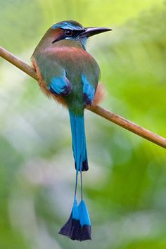 Turquoise-Browed Motmot- love the tail