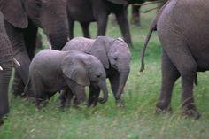 eleph famili, elephants, stuff, babi eleph, creatur, eleph herd, ador, anim natur, thing