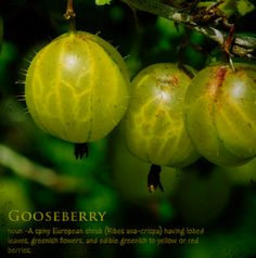 All about Gooseberries – How to Grow Them Plus Delicious Recipes  Posted by gardensall on Aug 18, 2014 in Food /Recipes, General Interest ...