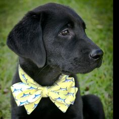 anim, dogs, bow ties, bears, southern charm, lab puppies, bows, preppy dog, black labs