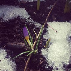 Snow and flowers living together in harmony.    Photograph by me.    #flower #snow #nature #spring