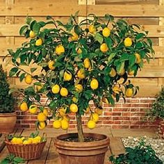 """""""Grow Your Own Lemons All Year Long!  A taste of the tropics! Dwarf citrus trees are an exceptional addition to your patio container garden! This Improved Meyer Lemon bears fragrant flowers followed by tasty fruit!""""-pp"""