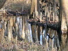 tree knee, root system, cypress tree