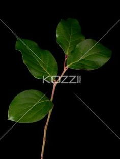 green leaves against black background - Green leaf attached to a stem isolated against a black background. Four individual leaves can be seen.