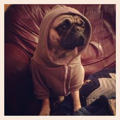 Otis livin' the pug life.