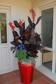 plant, red metal, metal pot, black canna, outdoor live, tropicanna black, dichondra silver, flower, container gardening