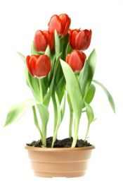 How to grow tulips indoors. I am going to try this with the bulbs that I never planted last fall!