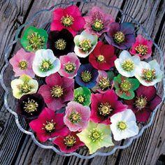 must plant Helleborus Royal Heritage strain