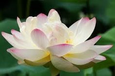 Despite germinating from murky waters, the lotus emerge a pure and splendid flower.