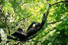 Bonobo in the Kokolopori Bonobo Reserve: loosing habitat and being poached