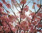 Pink Apple Blossom Photo