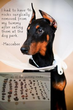 """""""I had to have 96 rocks surgically removed from my tummy after I ate them at the dog park. -"""