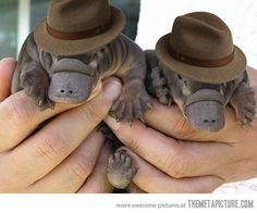 Platypuses in hats.