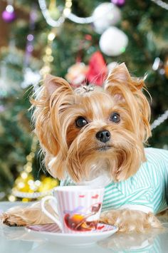 """Will you have tea with me?""... Click on this image to find more cute #Yorkie pics"