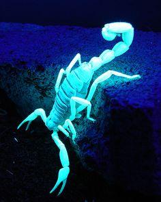 Scorpion under a black light