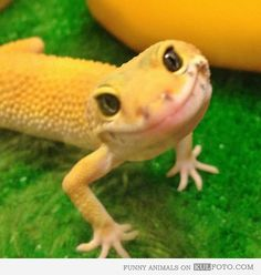 Ridiculously Photogenic Lizard - Funny yellow lizard smiling at the camera looking ridiculously photogenic.