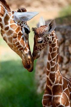 kiss, mothers, famili, family portraits, art prints, children, baby animals, calves, giraffes
