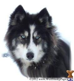 What a beautiful creature.. husky/wolf mix
