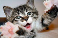 Virgola, furious cat