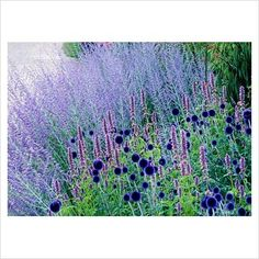 Perovskia - Russian sage and Echinops 'Veitchs Blue' - Globe thistle at Pensthorpe in Norfolk...  also Agastache, probably 'blue fortune'