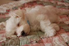 anim, heart, quilt, maltese dogs, ador, vintage roses, puppi, sweet dreams, furry friends