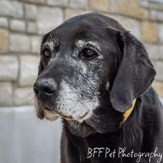 Sir Galahad - Black Labrador Retriever mix - approx 10-12 yrs old - Recycled Doggies - Cincinnati, OH. - http://www.recycleddoggies.com/available-dogs/ - https://www.facebook.com/RecycledDoggies - http://www.adoptapet.com/pet/10663795-cincinnati-ohio-border-collie-mix - https://www.petfinder.com/petdetail/28430035/