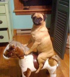 funny animals, animal pictures, funny animal pics, funny pugs, crazy animals, pug dogs, hilarious animals, animal photos, rocking horses