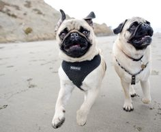 Beach buddies The Daily Puglet: March 2011