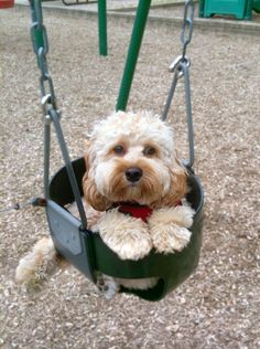 cockapoo swing