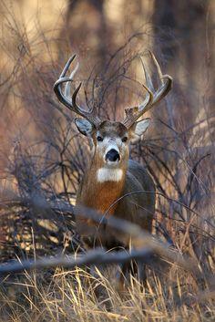 ˚Big Whitetail Buck