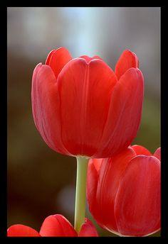 TULIP (RED) -Believe me, Declaration of Love