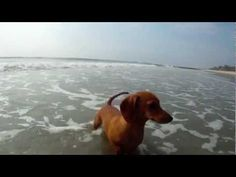 Madaline dachshund puppy with Crab  I can't wait to take Stella to a beach!!