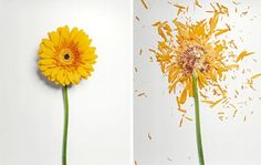 For his Broken Flower series photographer Jon Shireman soaks various kinds of flowers in a liquid nitrogen bath for up to 30 minutes before using a special spring-loaded contraption to slam them against a surface at high speed. He then photographed the hundreds of fragments spread across a white surface like sharp glass shards.