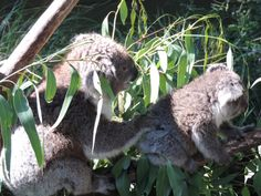 Mother and son koala at Healesville Sanctuary