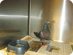 Van Nuys, CA - Pigeon. Meet A1421866 a Pet for Adoption on @Adopt-a-Pet.com