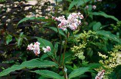 Persicaria campanulata - likes shade, flowers in autumn