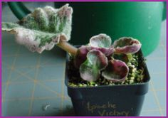 How to Propagate African Violets by davesgarden.com who suggests cutting the stem at an oblique angle to maximise the number of plantlets. #African_Violets #davesgarden