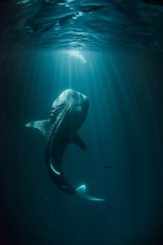 awesome picture of a whale shark