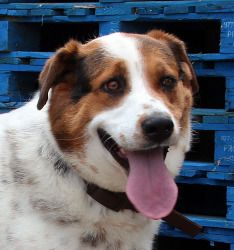 Fergie is a loving 2 year old Spaniel/Pyranees mix. She is a medium girl at around 50 lbs. She is loving with her people and loves attention. She gets along fine with larger dogs but we recommend she is not placed with small dogs, cats or any other small woodland creatures. She is getting used to living in a home and is working hard on her housetraining. If you're looking for a snuggle buddy, this is your girl!