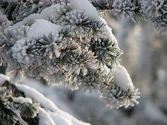 snow-clad fir