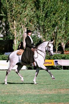 Grey Lusitano stallion Hostil in Portugal