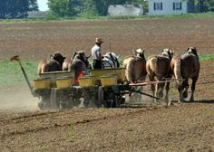 plant, field, animals, amish life, agriculture