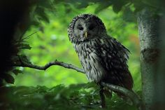 Ural Owl (Strix uralensis). Photo by Tomasz Samolik.