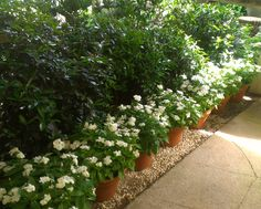a lovely hedge using pretty Tea Olives, Vinca and Cleyera. White flowers always pop the most at night. Use in masses for maximum effect!