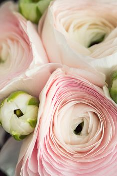 Beautiful ranunculus blooms