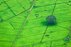 Tea plantation in Nairobi, Kenya