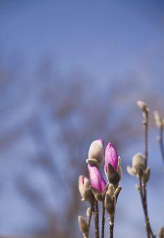 Tulip Magnolia Buds #TERRAINsignsofspring